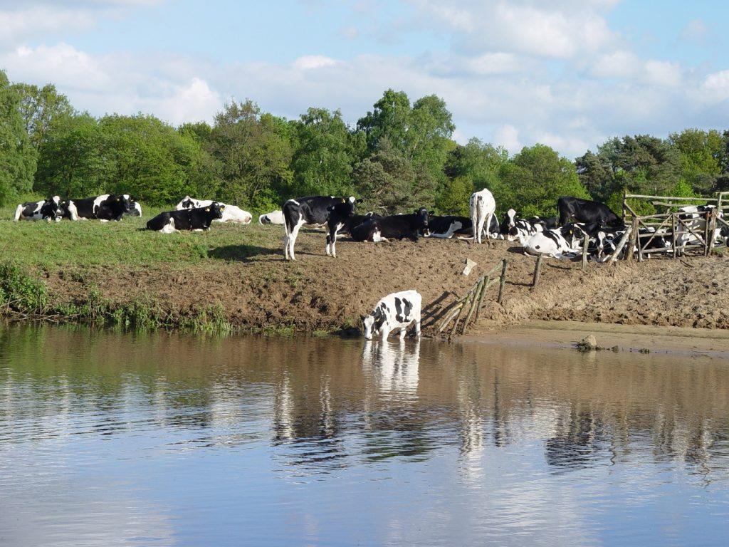 Koeien bij de Vecht